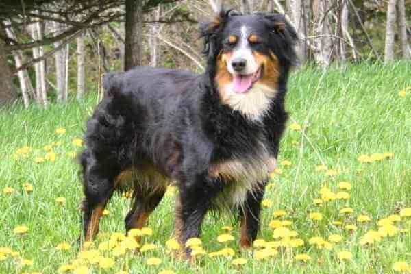 características razas de perro pastores