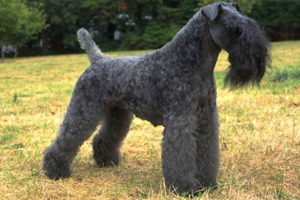 características razas de perros terriers