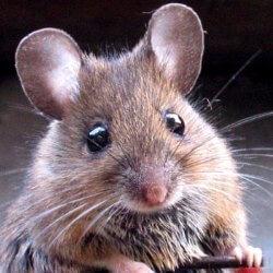 Qué comen los ratones mascotas