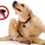 trucos caseros eliminar pulgas perro