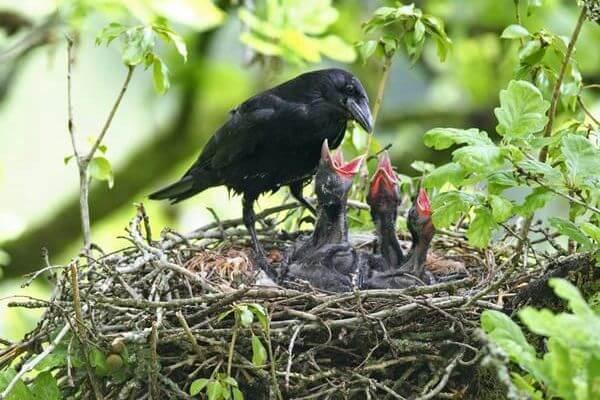 crías de cuervo