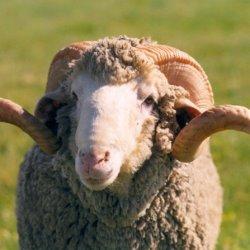Las características de las ovejas