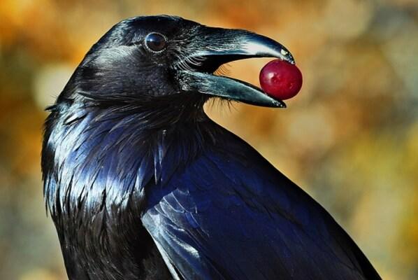 alimentación del cuervo