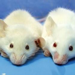 ratones omnívoros