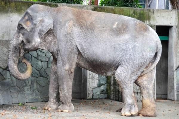 cuándo dura un elefante - La elefanta Hanako del zoo de Tokio murió a los 69 años.