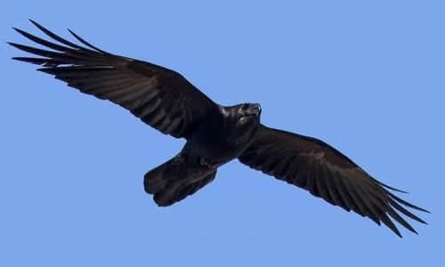 propiedades del cuervo