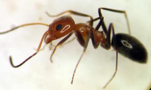 Dorymyrmex spp