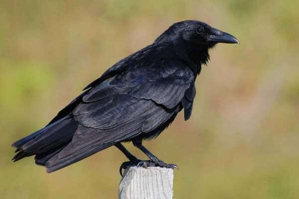 características del cuervo