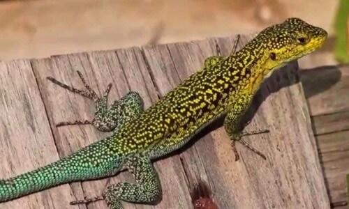 caracteristicas de la lagartija