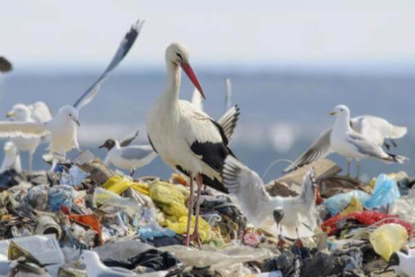 las cigüeñas comen peces, animales y basura