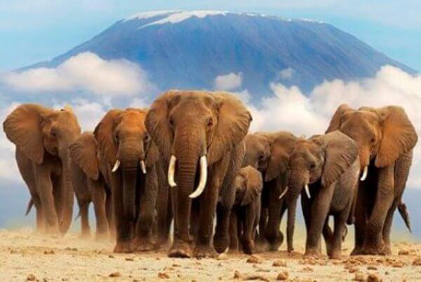 comportamiento del elefante africano