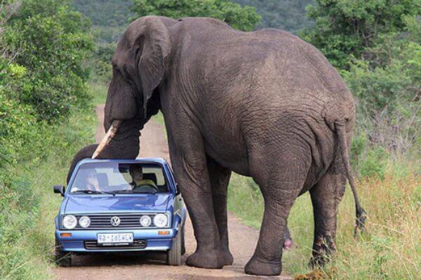 cuánto mide elefante africano