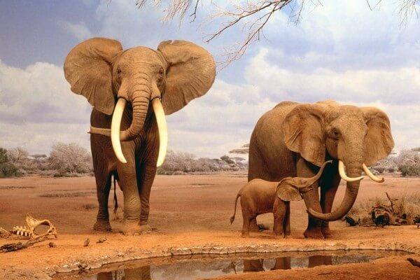 cuánto pesa elefante africano