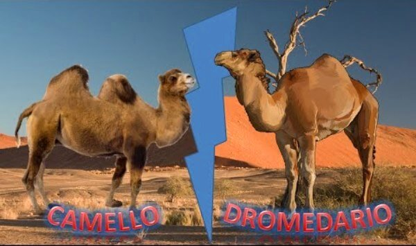 dromedario y camello diferencia