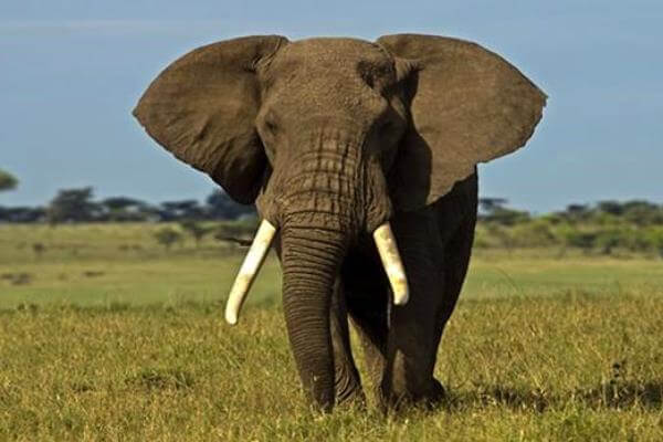 características elefante africano - Ejemplar de elefante africano