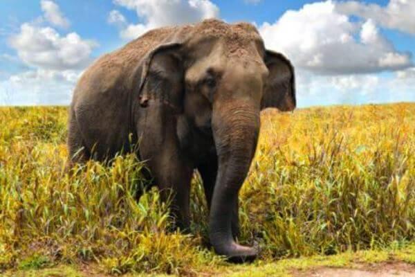 características elefante asiático - Ejemplar de elefante asiático