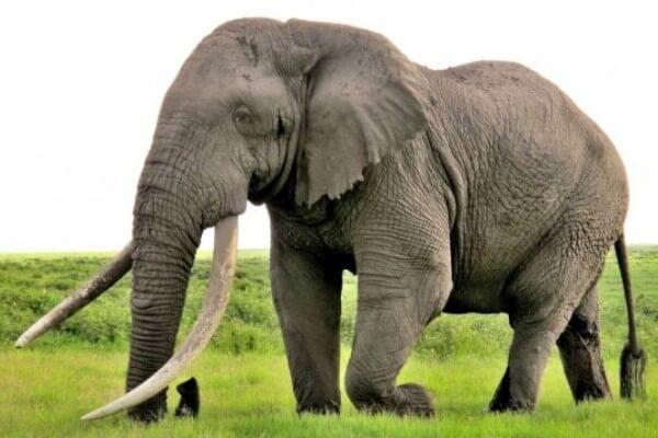 cómo es el elefante