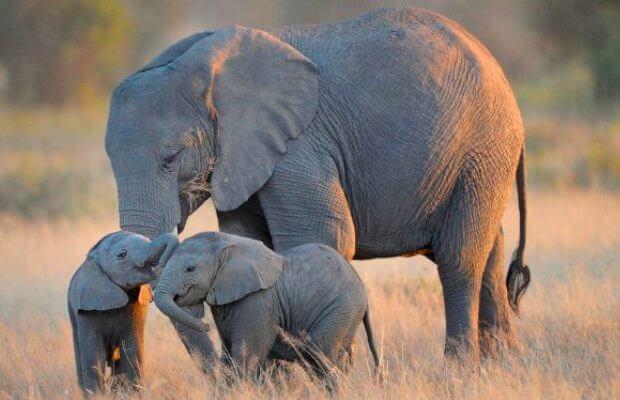 ¿Cuánto dura el periodo de gestación de un elefante?