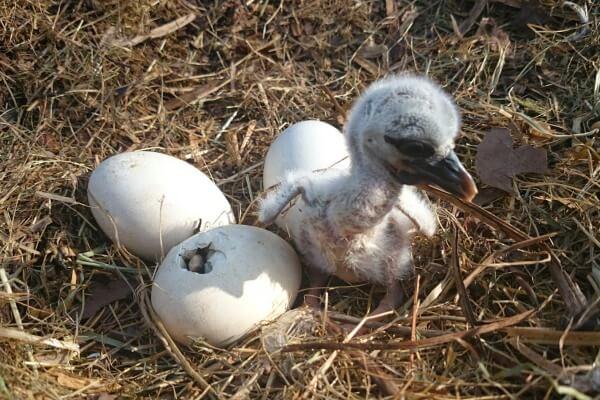 cuánto miden los huevos de la cigüeña - cigüeña bebé