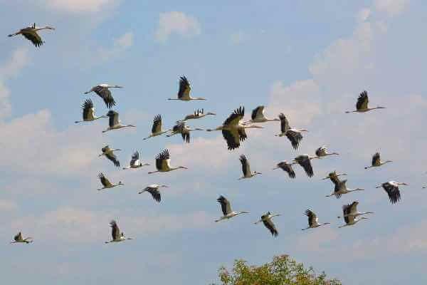 cómo emigran las cigüeñas