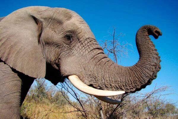 cómo es la trompa del elefante