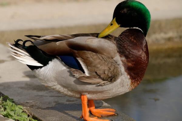 Cómo es el pato características, tipos y curiosidades