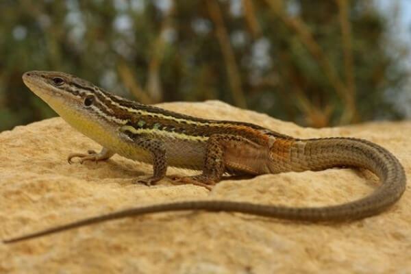 Cómo es la lagartija características