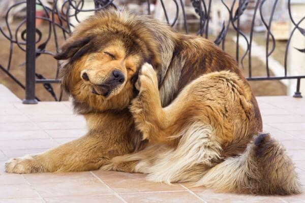 Cómo quitar las garrapatas de mi perro