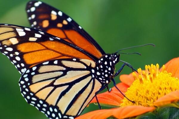 Cómo son las mariposas explicado para niños