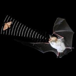 Cómo vuelan los murciélagos a ciegas