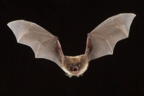 cómo son los murciélagos