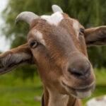 Qué es una cabra