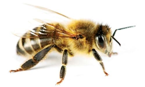 abeja obrera características