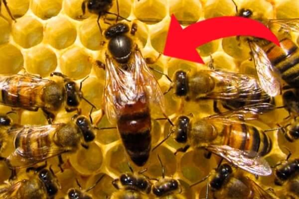abeja reina características