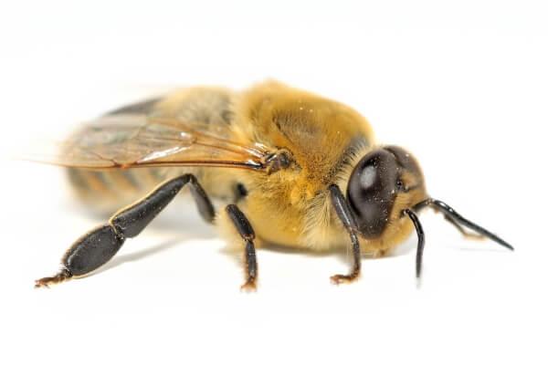 abejas zangano características