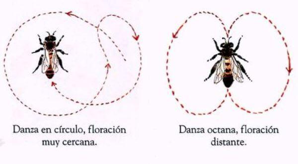 la danza de la abeja