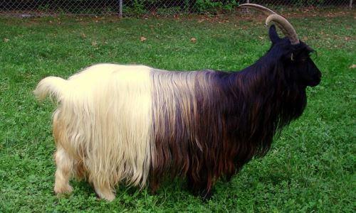 razas de cabras - Cabra de angora