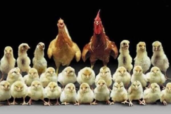 cómo es el pollo
