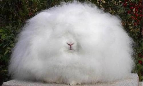 Especies de conejos - Conejo de Angora