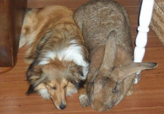 Características del conejo - Existen conejos de gran tamaño