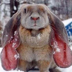 cómo se reproducen los conejos - El conejo tiene una gran capacidad reproductora