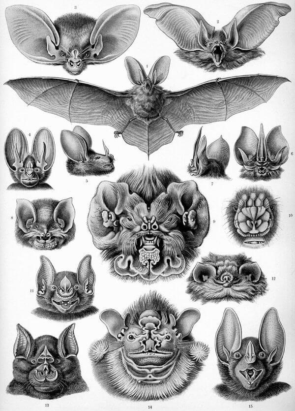 morfología del murciélago