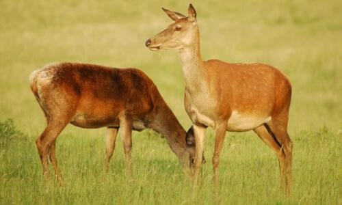 hembra ciervo común