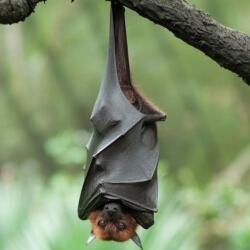murciélago boca abajo