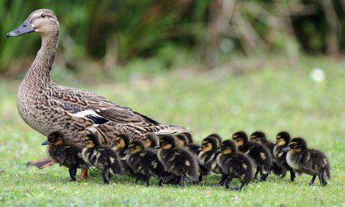 cómo se reproducen los patos
