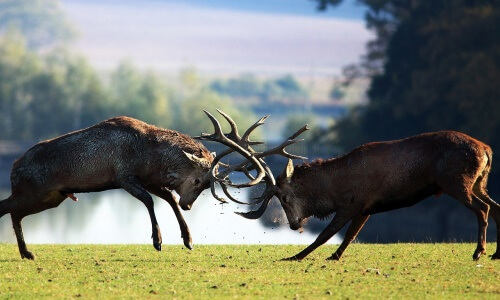 pelea de ciervos macho