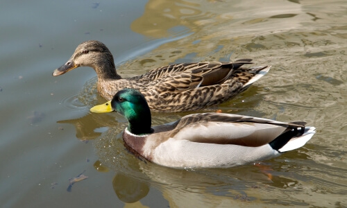Plumaje de pato macho (más colorido) y hembra
