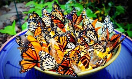 qué comen las mariposas para niños