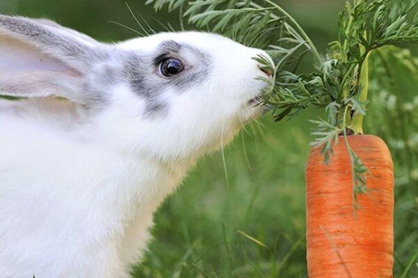 De qué se alimentan los conejos - Existen conejos de gran tamaño