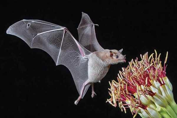 dieta de los murciélagos - Algunos murciélagos también comen néctar o flores